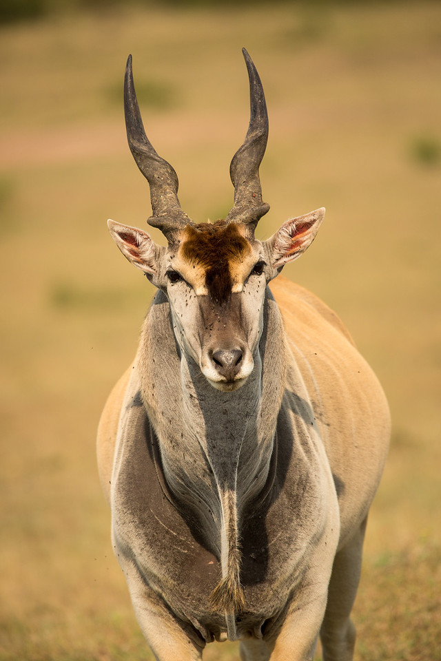 Kudus are much bigger animals weighing about 550 lbs.