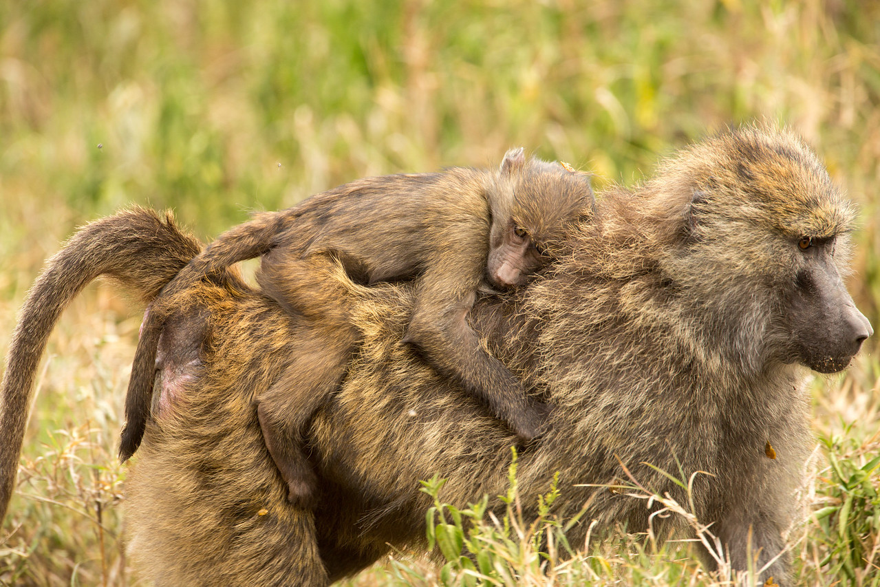 A piggyback ride for baby baboon.