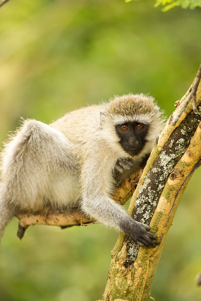 Vervet monkeys are fun to watch. They live about 20 years in the wild.