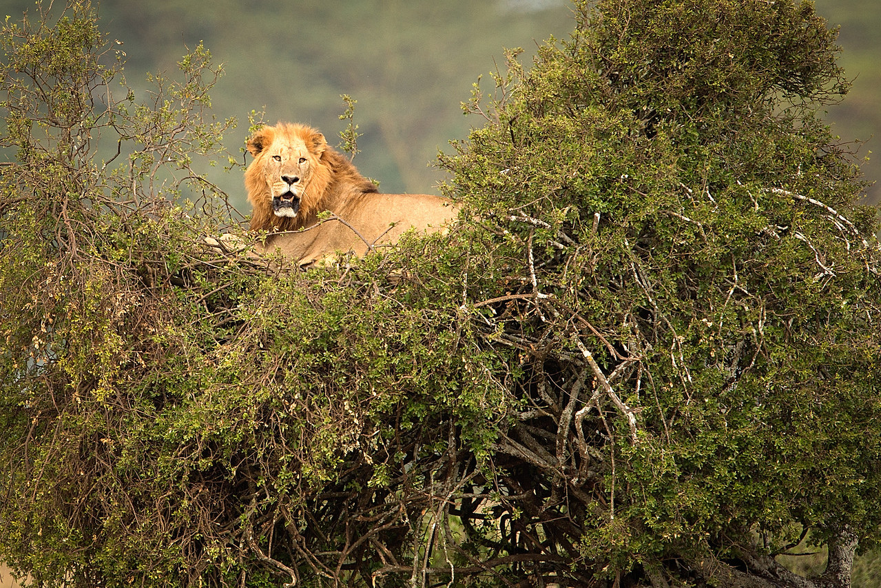 This lion perched himself up on a small tree to observe the world go by.