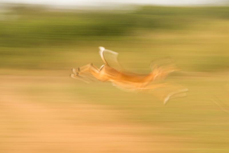 Impala on the move.