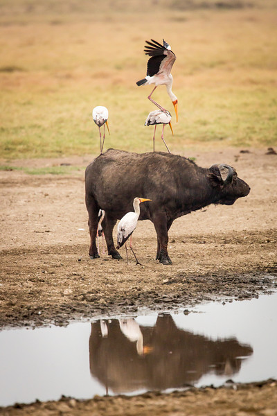 Now this is unbelievable. A stork is on top of a stork on top of the cape buffalo!
