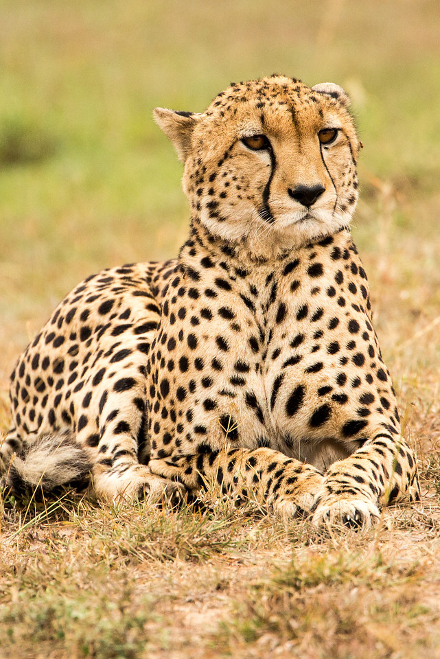 Our first day in the Masai Mara we saw this handsome cheetah.