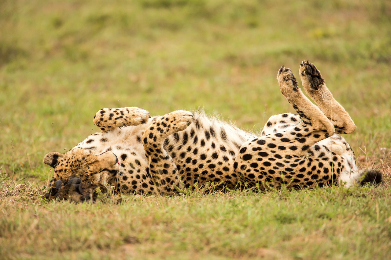 Here's how a cheetah scratches his back.