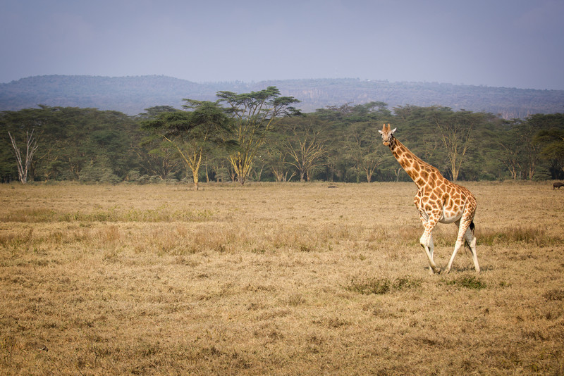 "A ""tower"" (name of a group of giraffes) strolled by us one afternoon."