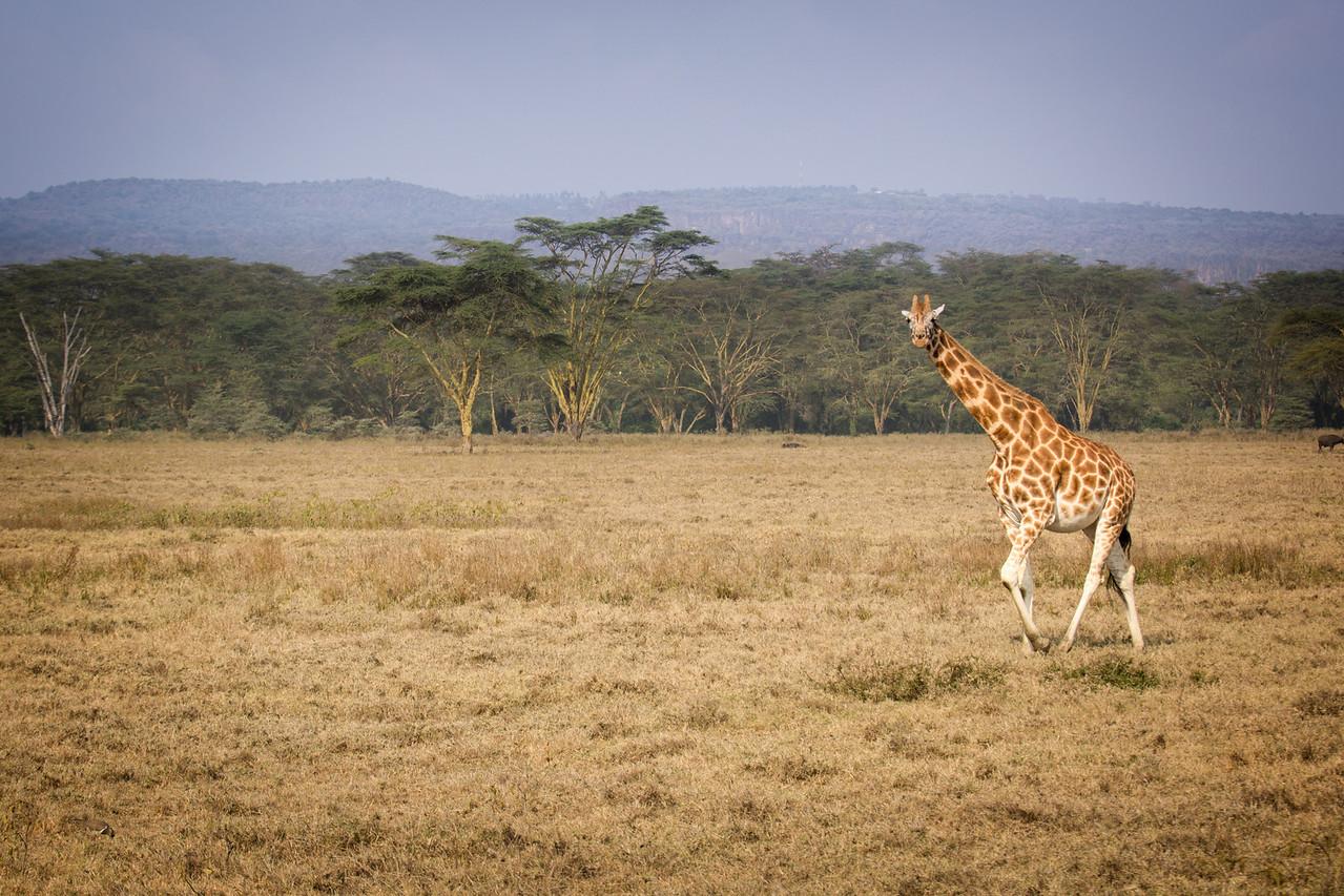 """A """"tower"""" (name of a group of giraffes) strolled by us one afternoon."""