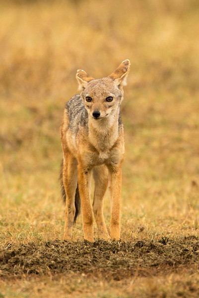 A small black-backed jackal roaming about.