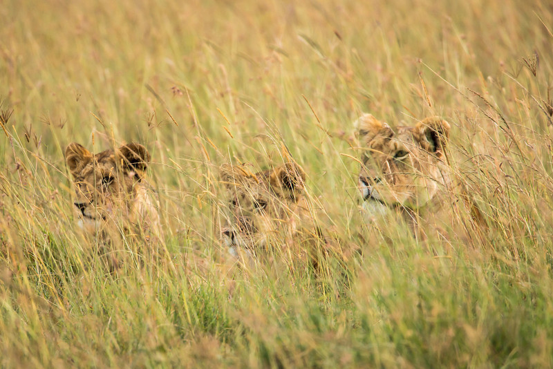 Three young cubs watching their mothers hunt.