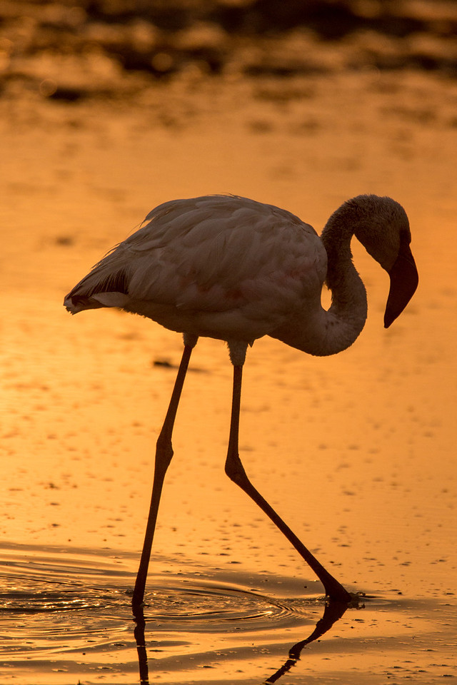 We didn't see much sun at Lake Nakuru, but it popped out briefly one morning to create this beautiful golden backdrop to silhouette this Flamingo.