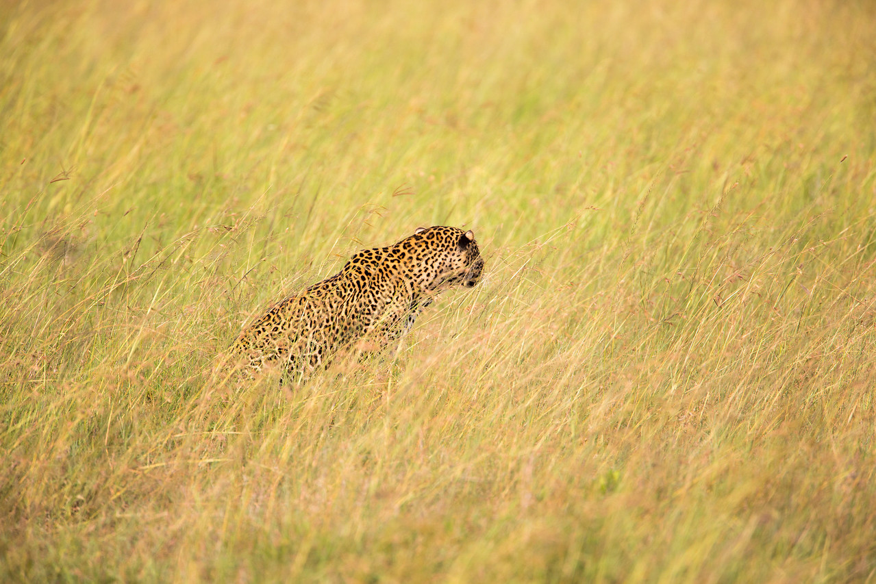 A leopard in the grass looking for a meal.