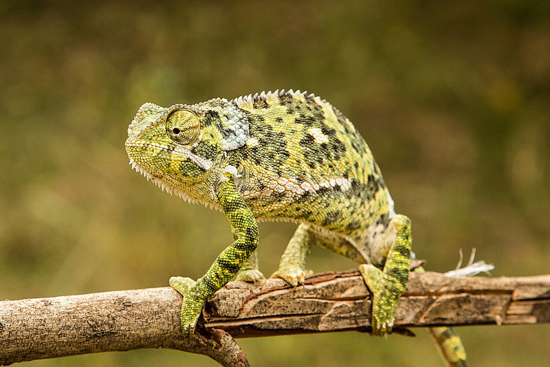 As we were leaving camp one day for a game drive, we came across this small cameleon.