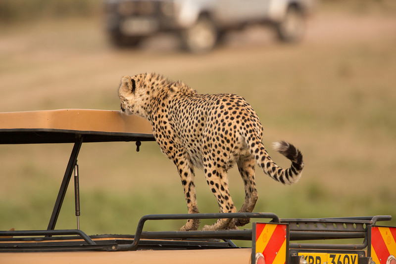 Then amazingly one of the cheetahs jumped on top of the landrover in front of us and looked about but never threatened our safari guide who was inside. An amazing sight.