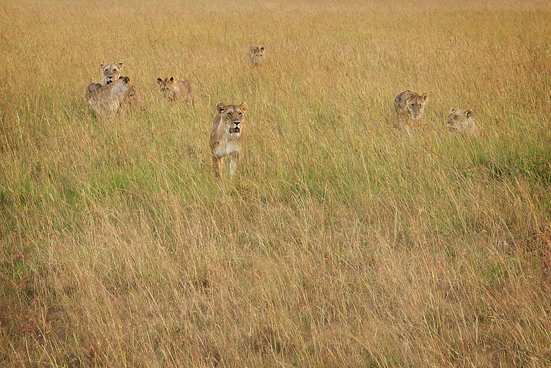 A pride of lions roaming through the grass of the Mara plains.