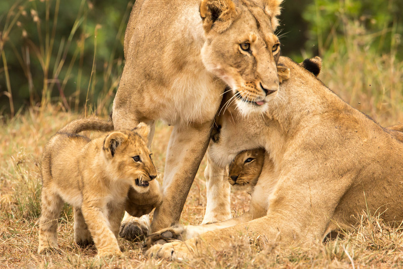 As we left the Masai Mara we had one last chance to watch the mother lions play with their cubs.