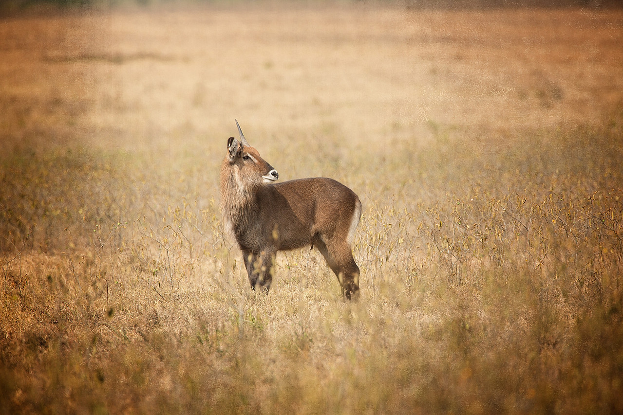 A lonely waterbuck.
