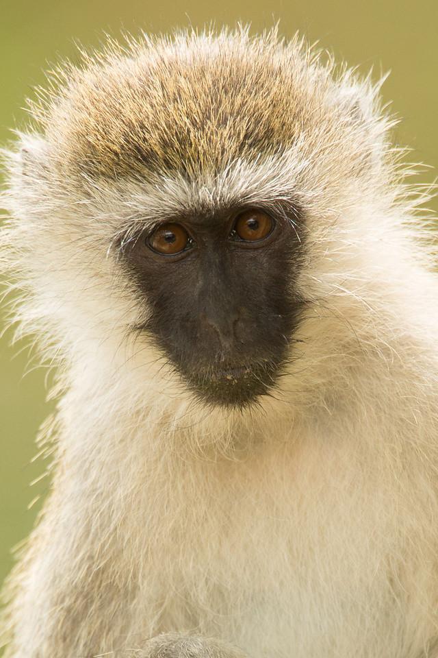 The gestation period for vervet monkeys is 5.5 months.