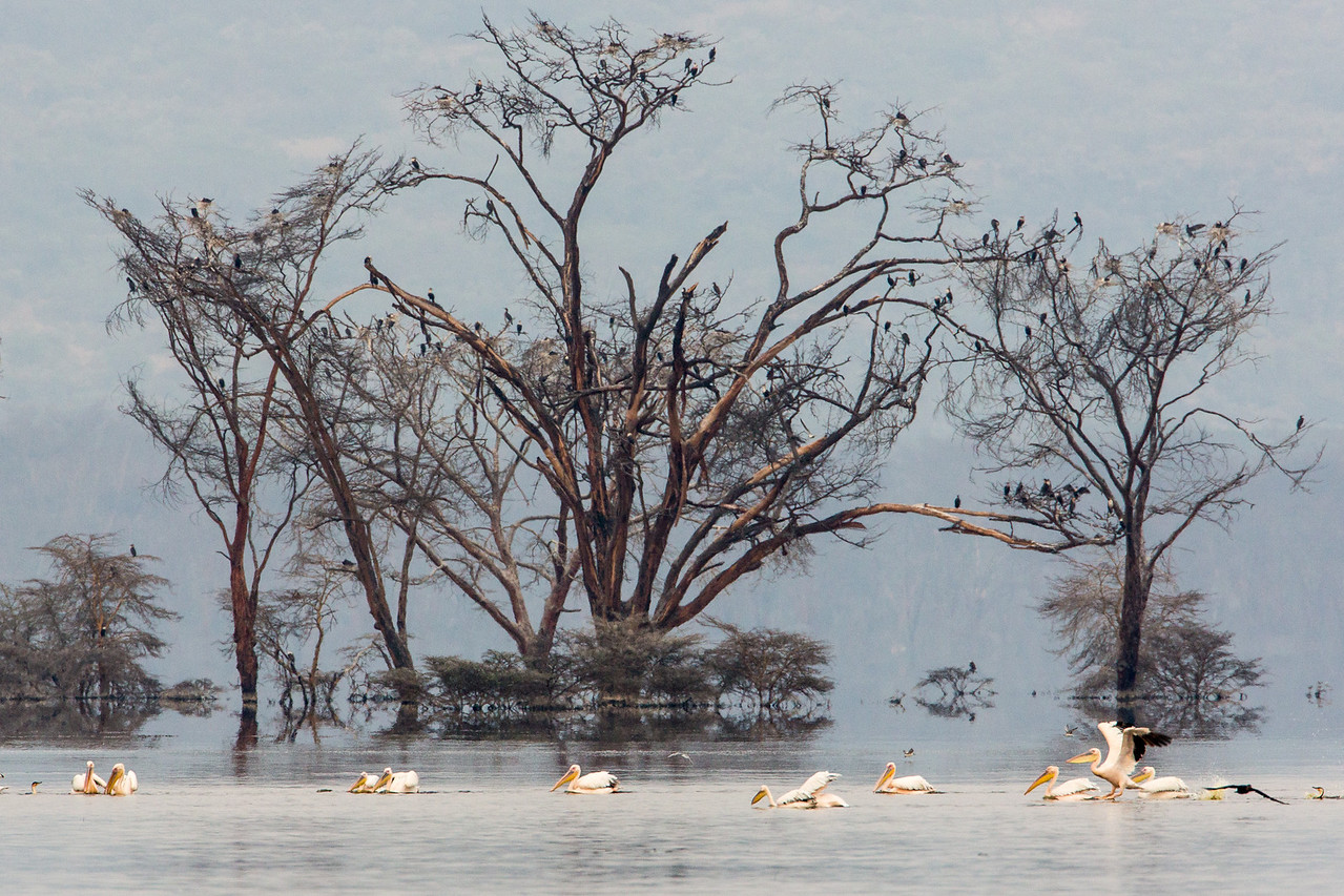 The water at Lake Nakuru was at record heights, which submerged the base of these trees.