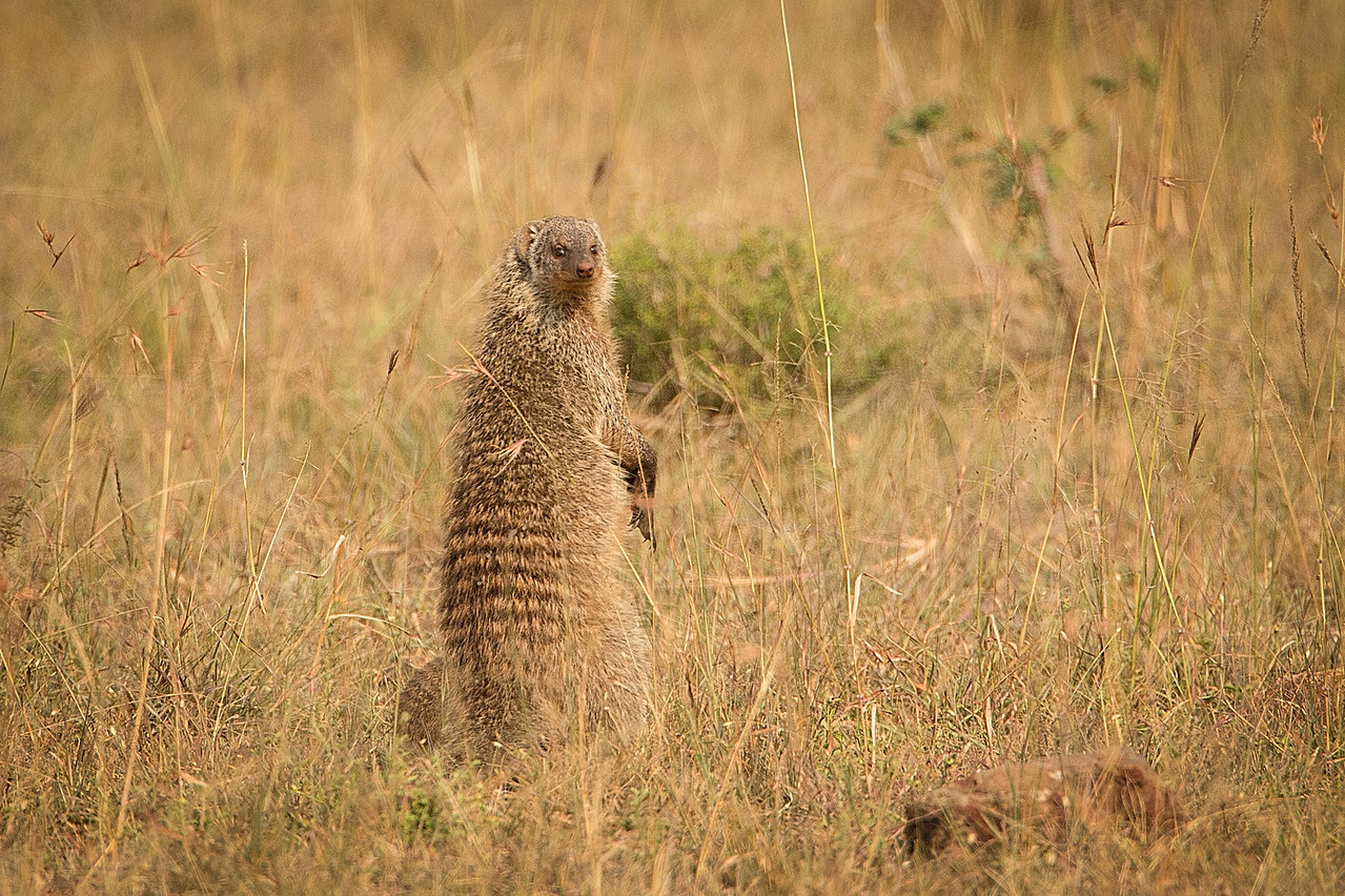 What's this funny looking critter? It's a banded mongoose.
