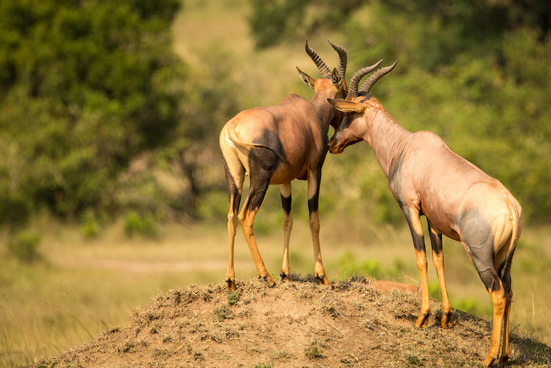Hartebeest live for about 15 years and may weigh up to 350 lbs.
