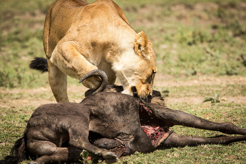 And here she is eating the remains of a wildebeest.