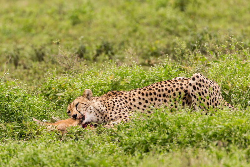 And what is this leopard doing? Oops, look again. This is a cheetah feasting on a gazelle.