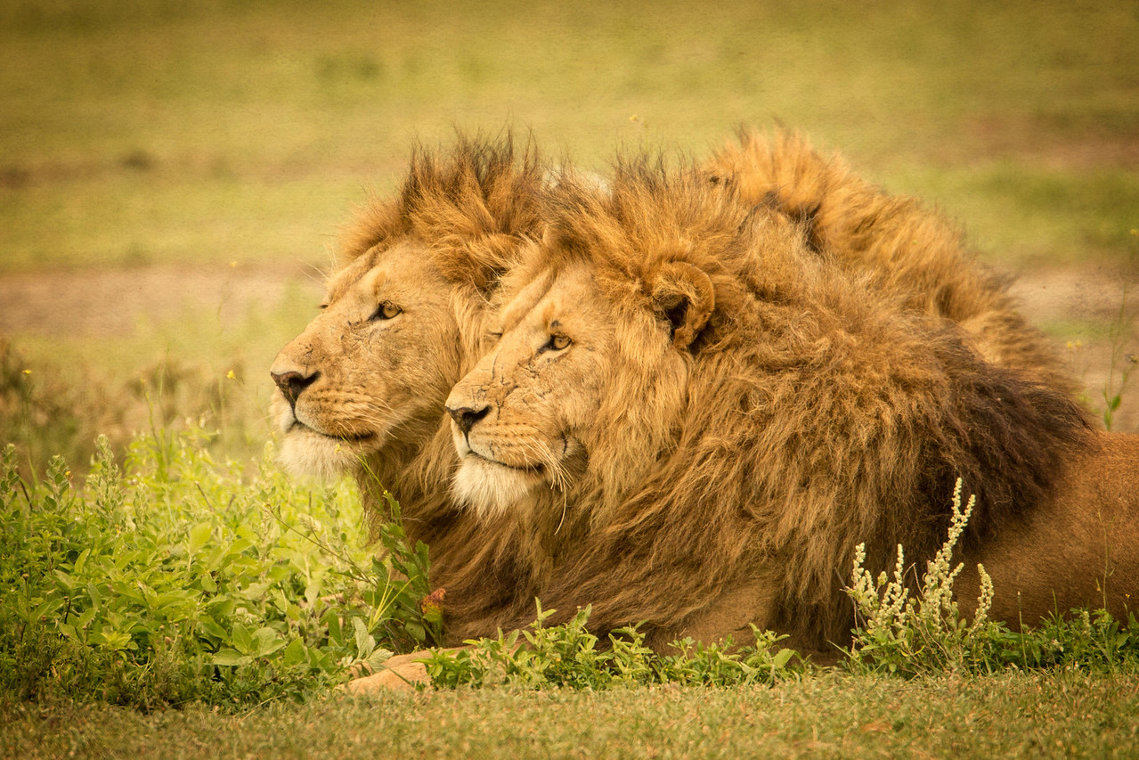 Male lions wait for females to bring them food while they look after the cubs.