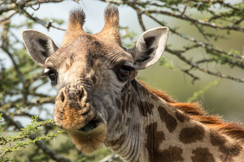 Would you like to be a giraffe? They only sleep about 20 minutes a day. Just think of the work you could get done.