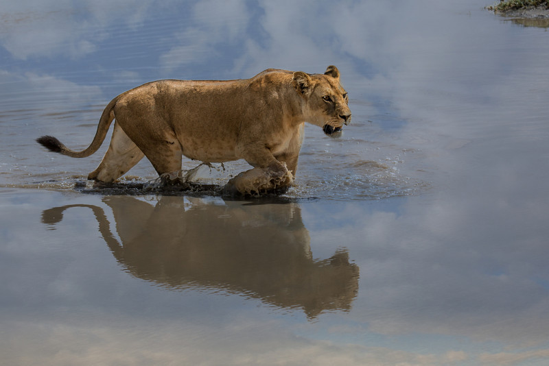 This female lion was returning to a kill she had made earlier.