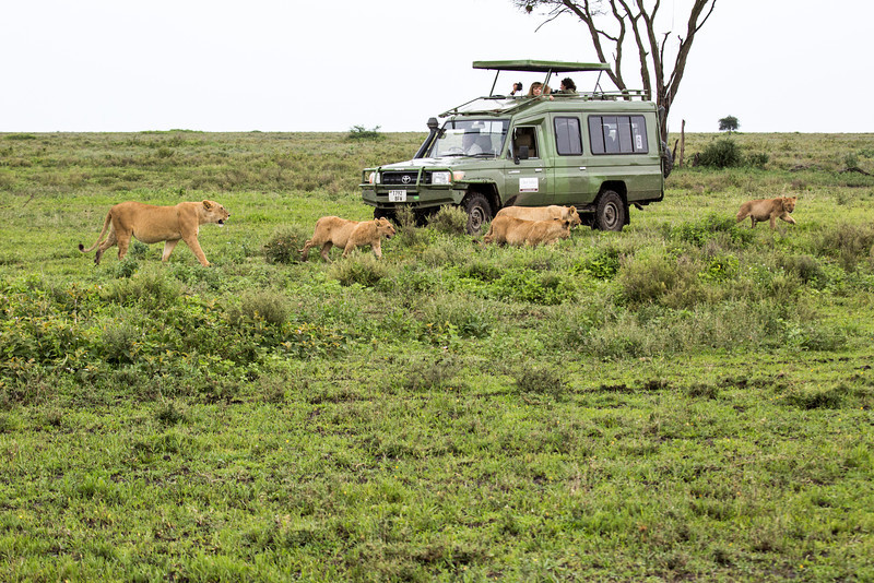 Female lions are usually the hunters and they hunt in groups of 3 to 8.