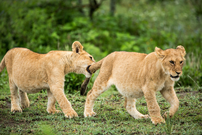 The curiosity of young cubs leads them to grab onto anything that moves.