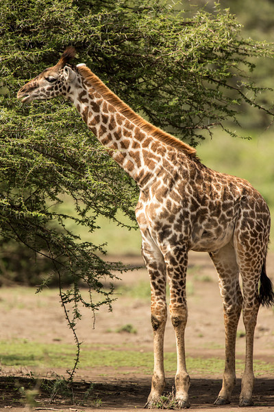 I was surprised to learn that giraffes can go without water for weeks and even several months. Usually they drink about 2 gals per week.