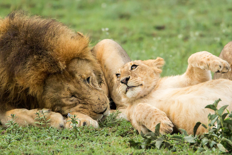 Here a cub plays with her father or a male member of the pride.
