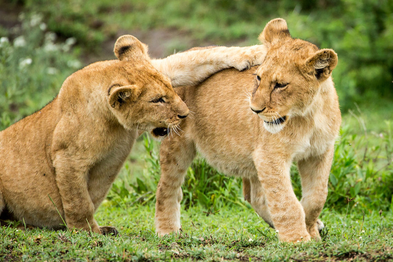 Cubs play with each other, often practicing the skills they need to survive as adults.