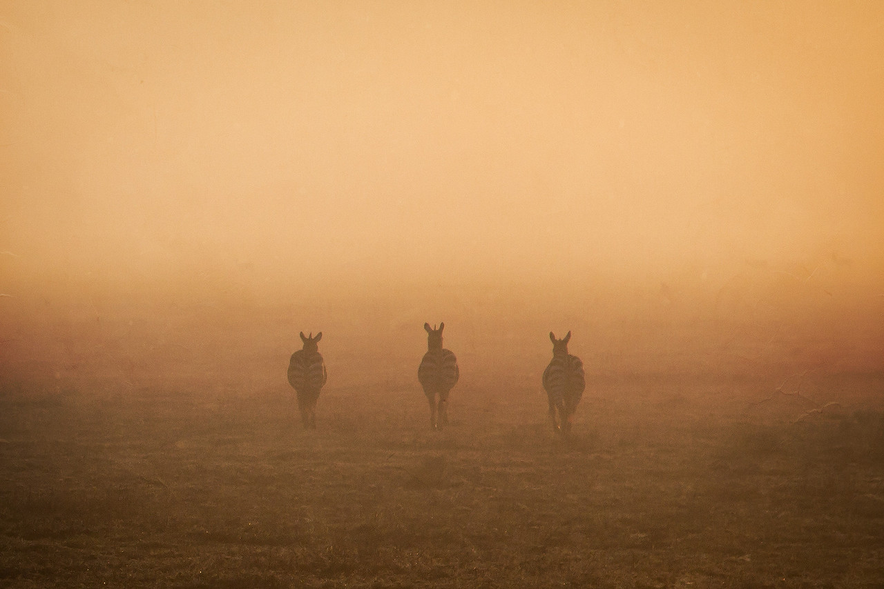 Our skillful pilot brought us down to skim a meter or two above the earth to capture these three zebras disappearing into the mist.