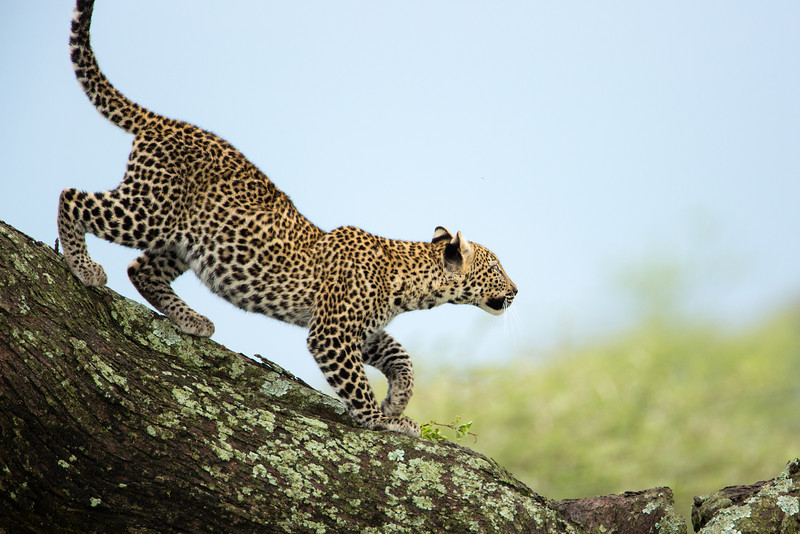 The young offspring of sleeping momma is active in the tree. Leopards have a gestation period of 92-95 days.