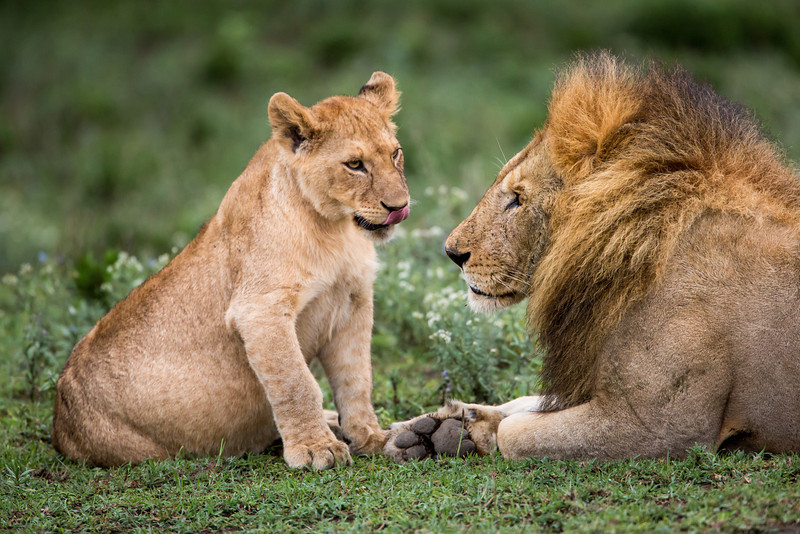 We saw many adult lions playing with their cubs.