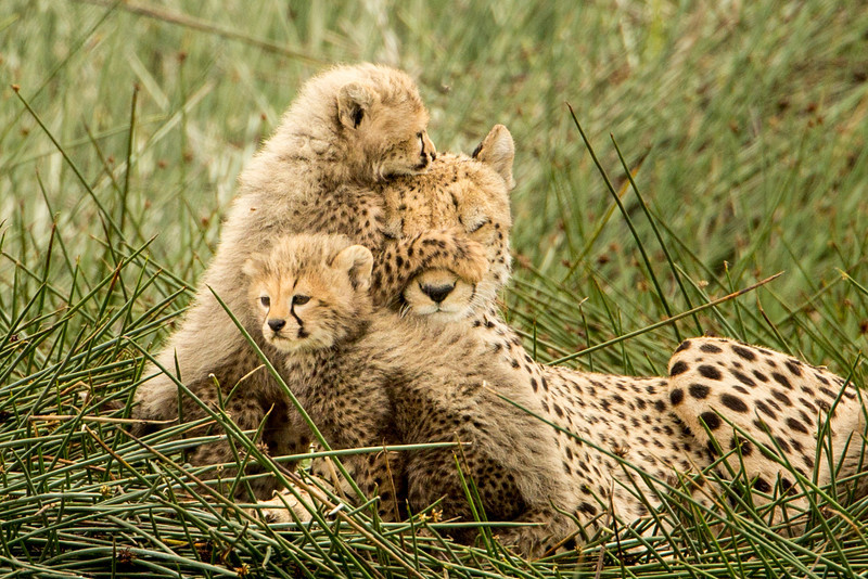 We were thrilled to see this family looking healthy and having fun. Only 7,000 to 10,000 cheetahs remain in the wild.