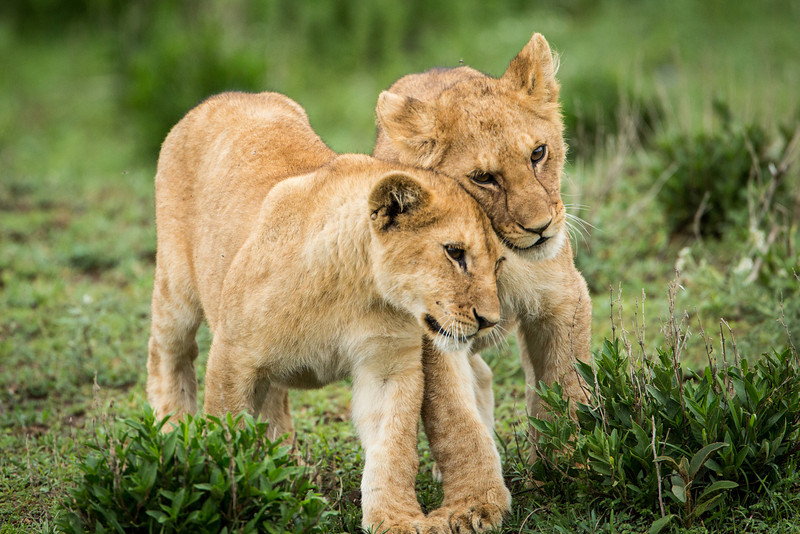 For the first six weeks cubs are hidden in dense brush and nursed by their mothers and will continue to nurse up to 6 months.