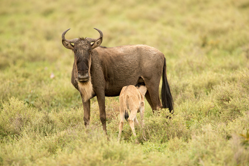 We were in Tanzania in February which is the birthing season. Wildebeest were having their young in large numbers. Here a less than week old calf is nursing.