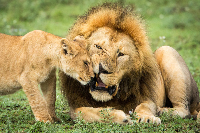 Female lions give birth 3.5 months after conception and usually have litters of 2-3.