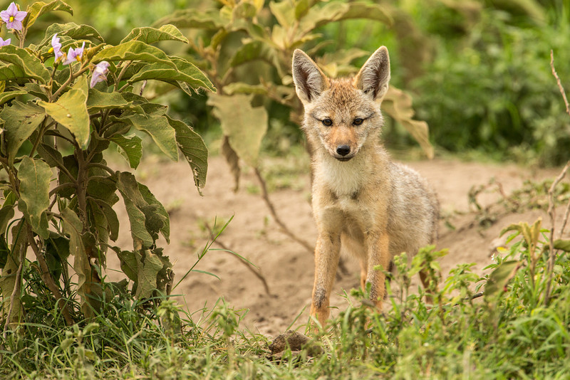 A young jackal popped out of his hole to greet us. Jackals are opportunistic omnivores, hunting in packs to eat small antelope like dik diks and gazelles.