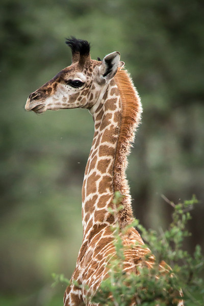 Grazing all day giraffes have 4 stomachs to help them digest their food.