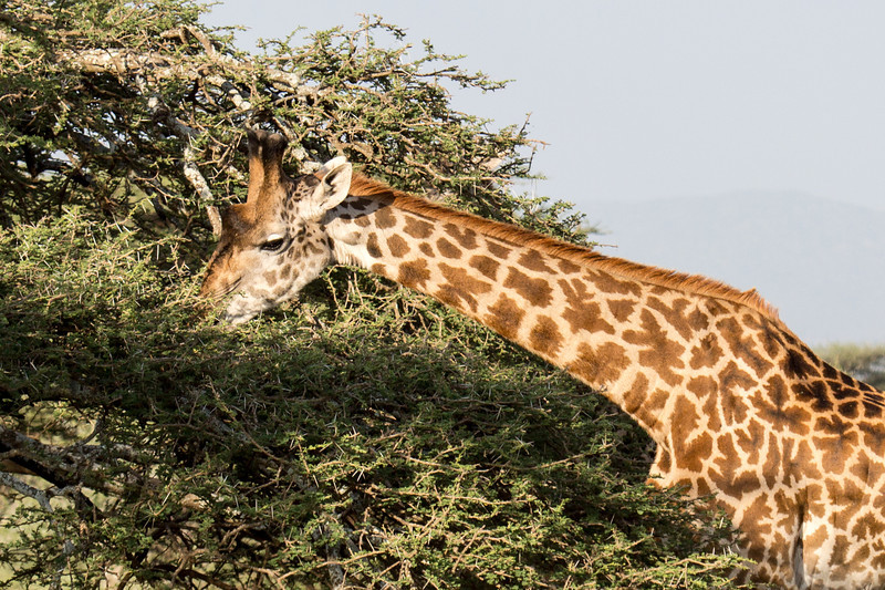 Giraffes will average eating about 66 lbs of food a day. That's eating a lot of leaves.