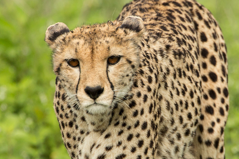 Emerging from the grass this cheetah walked to within 10 feet of us in our Land Rover. You may know that cheetahs are fastest land mammals. They can go from 0 to 60 in 3 seconds.