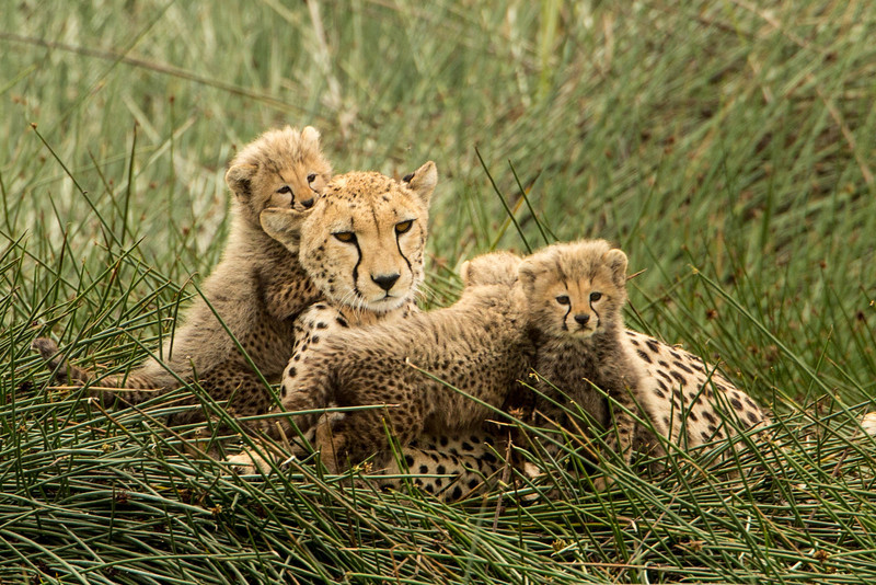 Female cheetahs typically have litters of 3.