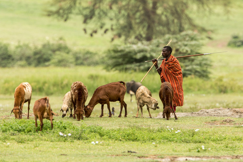 Masai shephard watching over his flock of goats in the Ngorongoro crater.