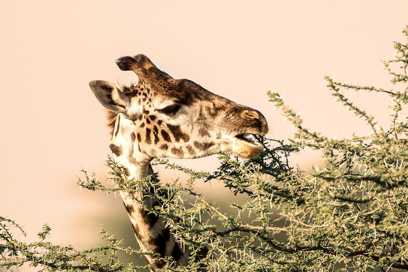 One of giraffes favorite foods is the leaves of Acacia trees. The tongue and lips of giraffes are so tough that they are impervious to the very sharp thorns on these trees.