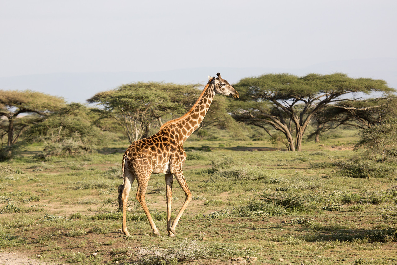 Our first giraffe on the Serengeti Plains. It's thrilling to watch these towering animals amble along.