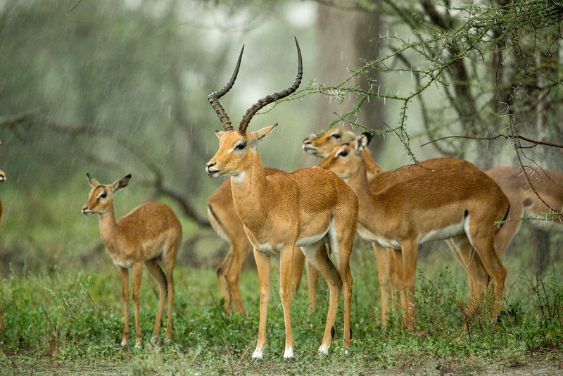 These Grant's Gazelles were under a tree waiting for the rain to cease, as we were too (but not under a tree).