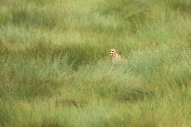 This cheetah is hiding in the grass using its keen eyesight to scan for prey.